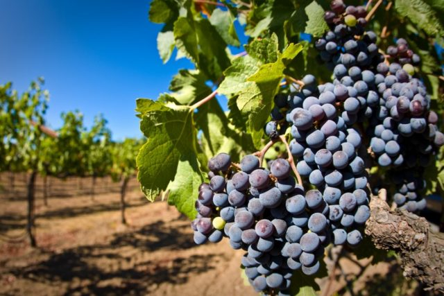 Гроздь винаграда ну кусту