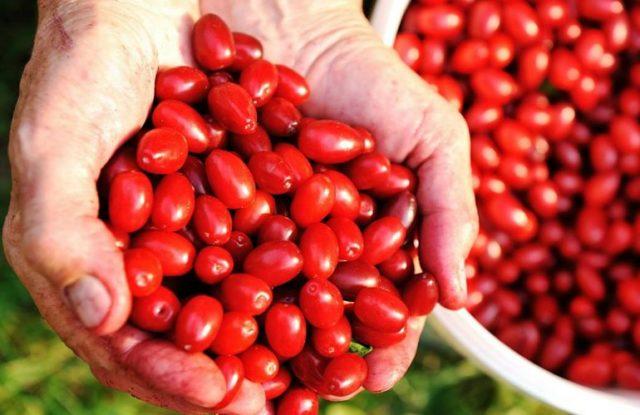 ягоды кизила в руках